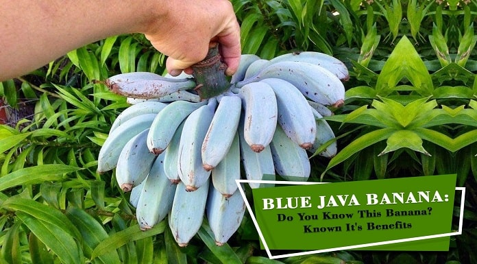 Blue Java Banana  Do You Know This Banana Know It is Benefits-e9abea1e